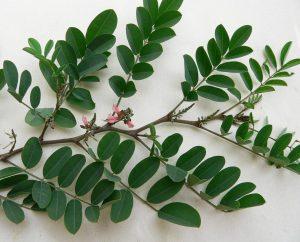 Indigo Tinctoria Plant